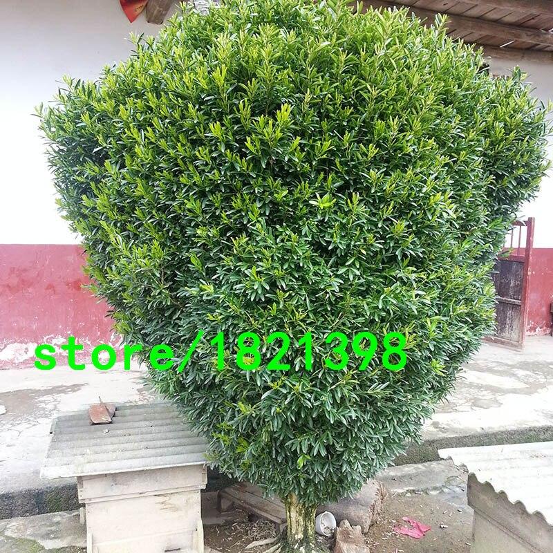 online kaufen gro handel buxus buchsbaum aus china buxus. Black Bedroom Furniture Sets. Home Design Ideas