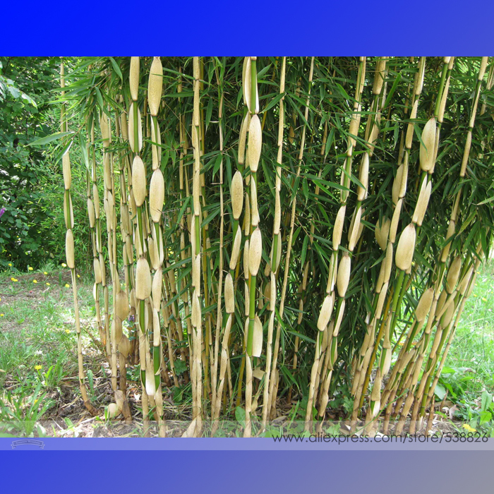 Clumping bamboo reviews online shopping