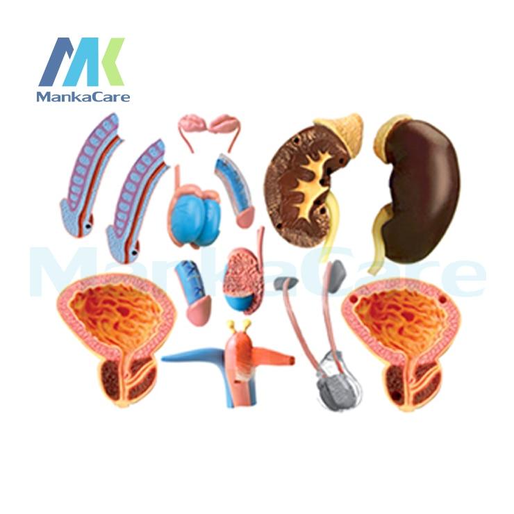 4D MASTER Human assembled model Male genitalia medicine Human male ...