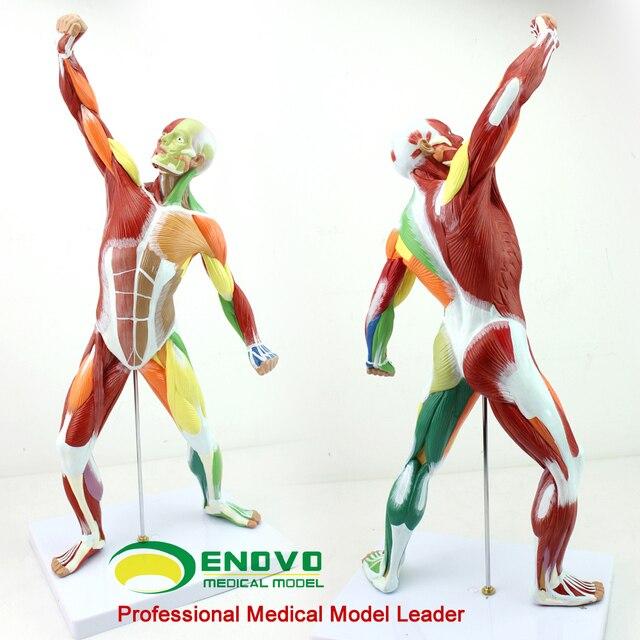 Arte del cuerpo humano cuerpo entero modelo muscular ejercicio ...