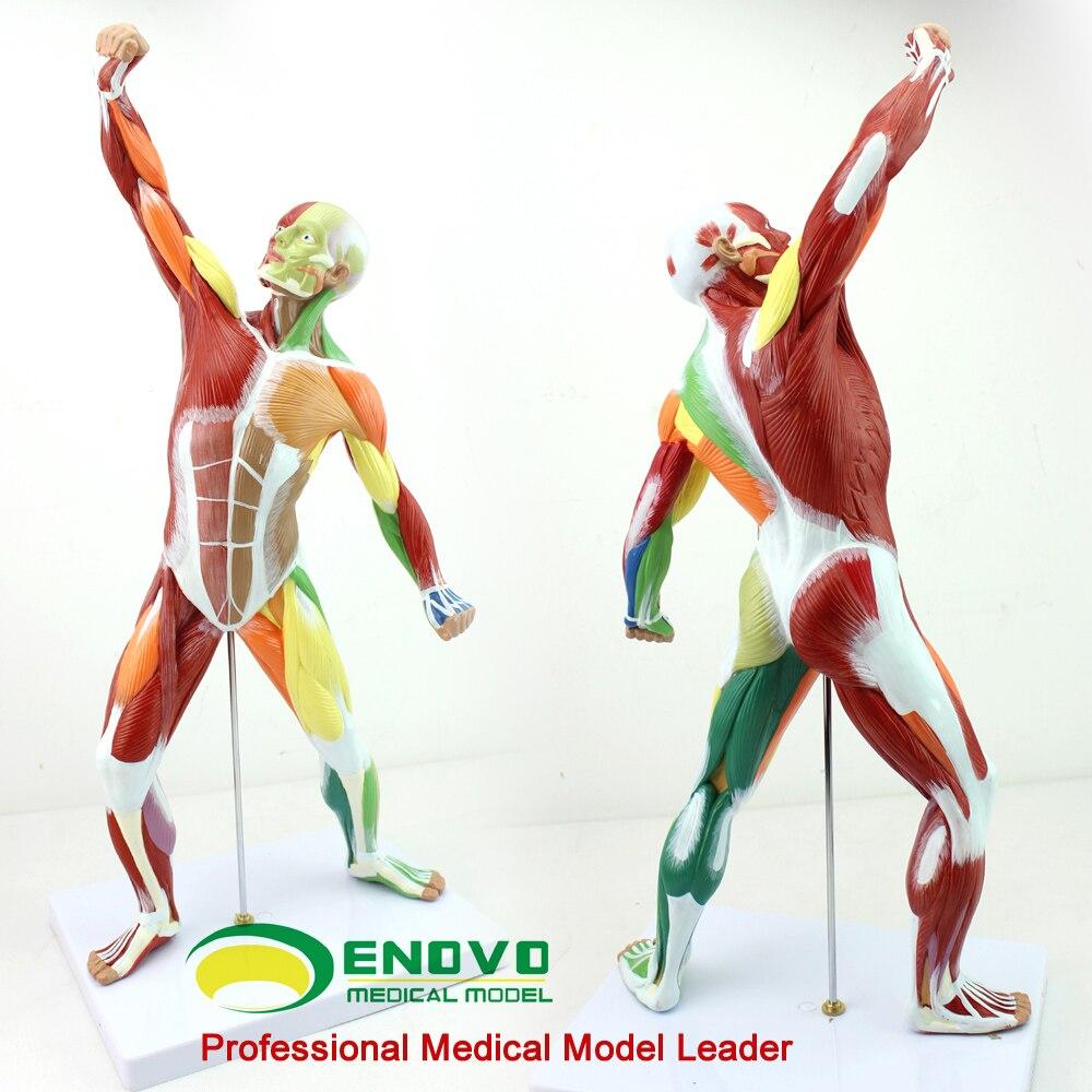 Kunst menschlichen körper ganzen körper muskelmodell übung muscle ...