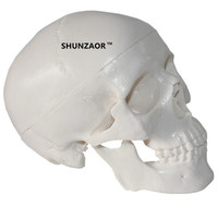 Mini Skull Human Anatomical Head Medical Model Convenient For 92 99 71 Mm Studying Anatomy