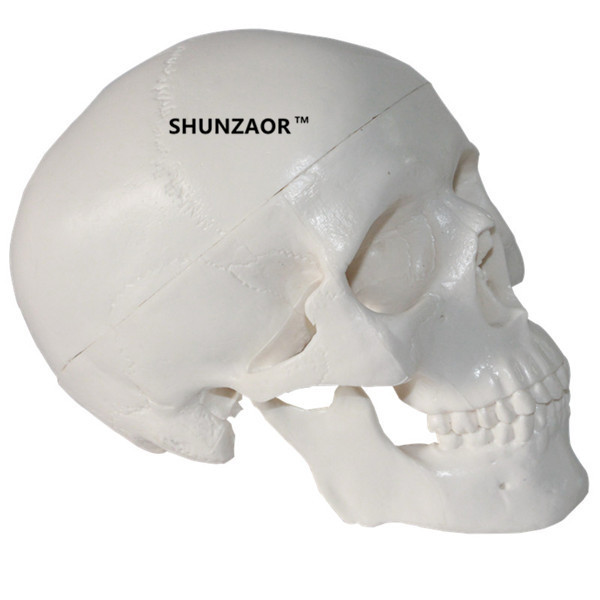Mini Skull Human Anatomical Anatomy Head Medical Model Convenient Painting Model Studying Anatomy Teaching Supplies 4d anatomical human brain model anatomy medical teaching tool toy statues sculptures medical school use 7 2 6 10cm