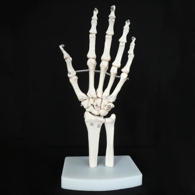 Human Anatomy Skeleton Life Size Hand Model With Heart Skull Brain