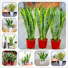 100 Pcs Snake Plant Bonsai Perennial Sansevieria Trifasciata Prain Potted Succulent Foliage Plants For Home Garden Decoration