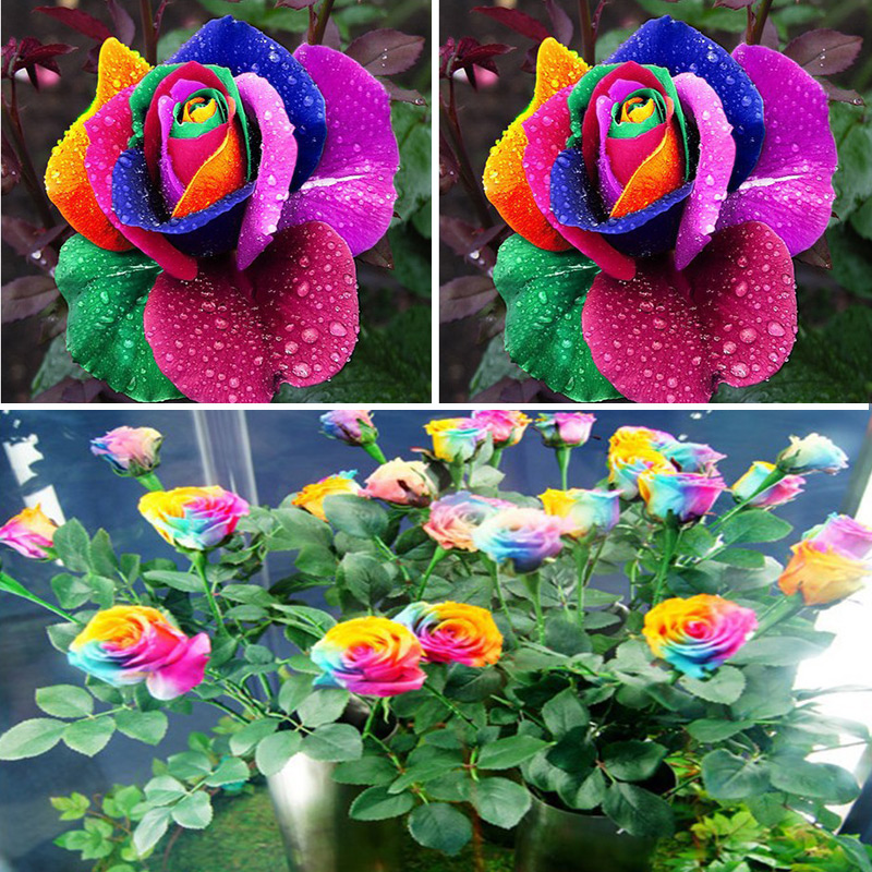 Compare prices on multi color roses online shopping buy for Where can i buy rainbow roses