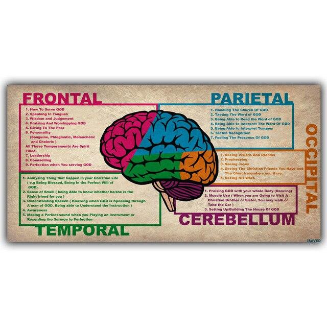 Menschlicher Wissenschaft Menschliche Gehirn Diagramm Lappen ...