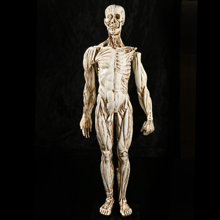medical Muscle Man Human Anatomy Study teaching Skull specimen Resin Crafts Halloween Decorations Furnishings Model