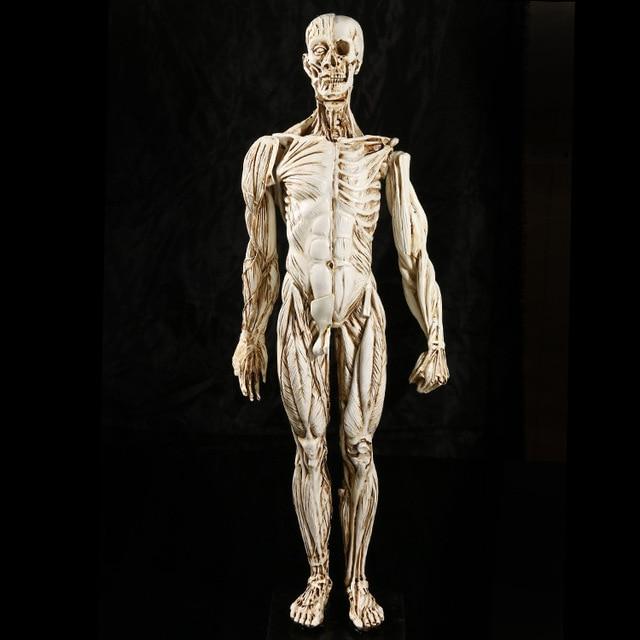 Médico músculo hombre humano anatomía enseñanza estudio cráneo ...