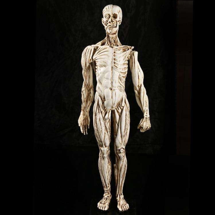 popular anatomy study models-buy cheap anatomy study models lots, Muscles