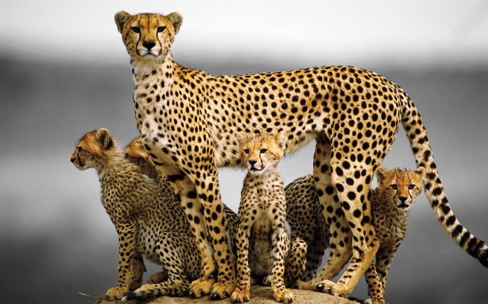 Free Shipping Cheetah Cat Family Kittens Poster Home Wall Decor Custom Art Print Silk Wallpaper Unframed 661