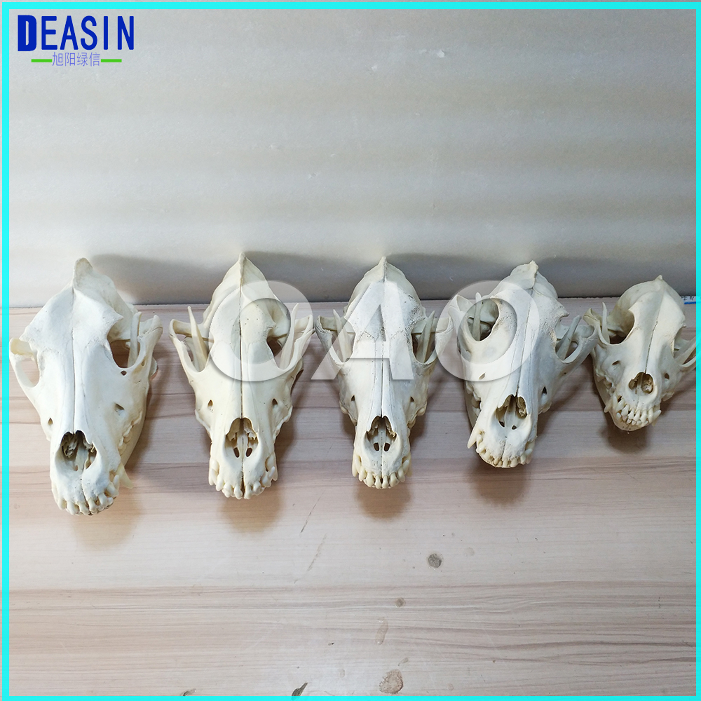 LAB Dog Dentition Model The dog teeth skull jaw bone solution planing teaching Veterinary Animal model specimens 2018 good quality dog dentition model the dog teeth skull jaw bone transparent solution planing teaching veterinary animal model