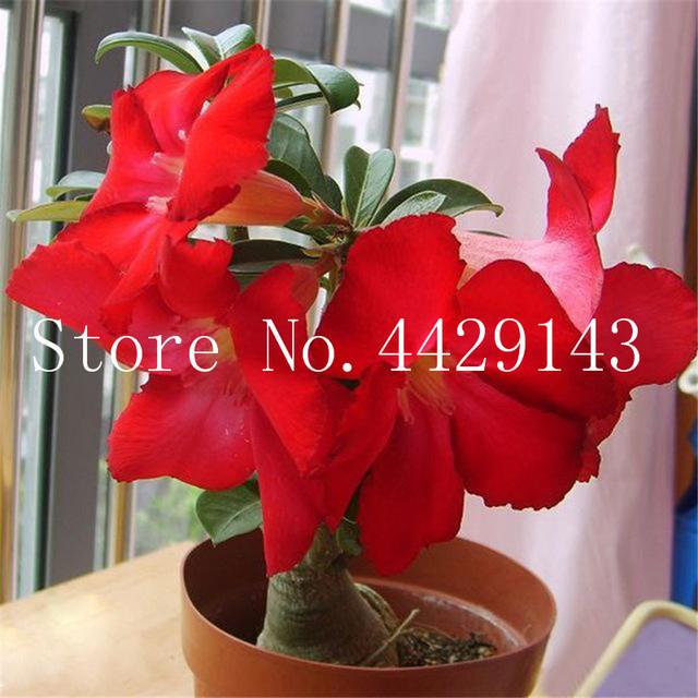 100% True Desert Rose Bonsai Ornamental Plants Balcony Bonsai Potted Flowers Drawf Adenium Obesum Bonsai -1 Particles/lot