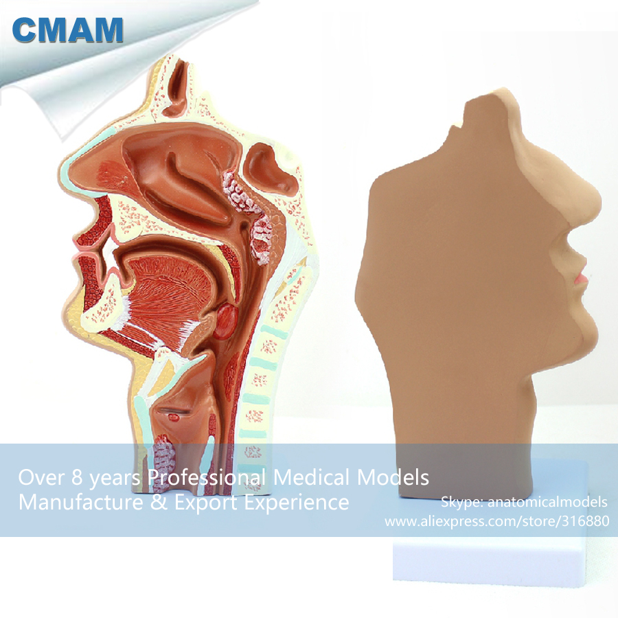 12510 CMAM-THROAT04-2 Human E.N.T. System Diseased Nasal Cavity Anatomy Model,  Medical Science Educational Anatomical Models 12400 cmam brain03 human half head cranial and autonomic nerves anatomy medical science educational teaching anatomical models