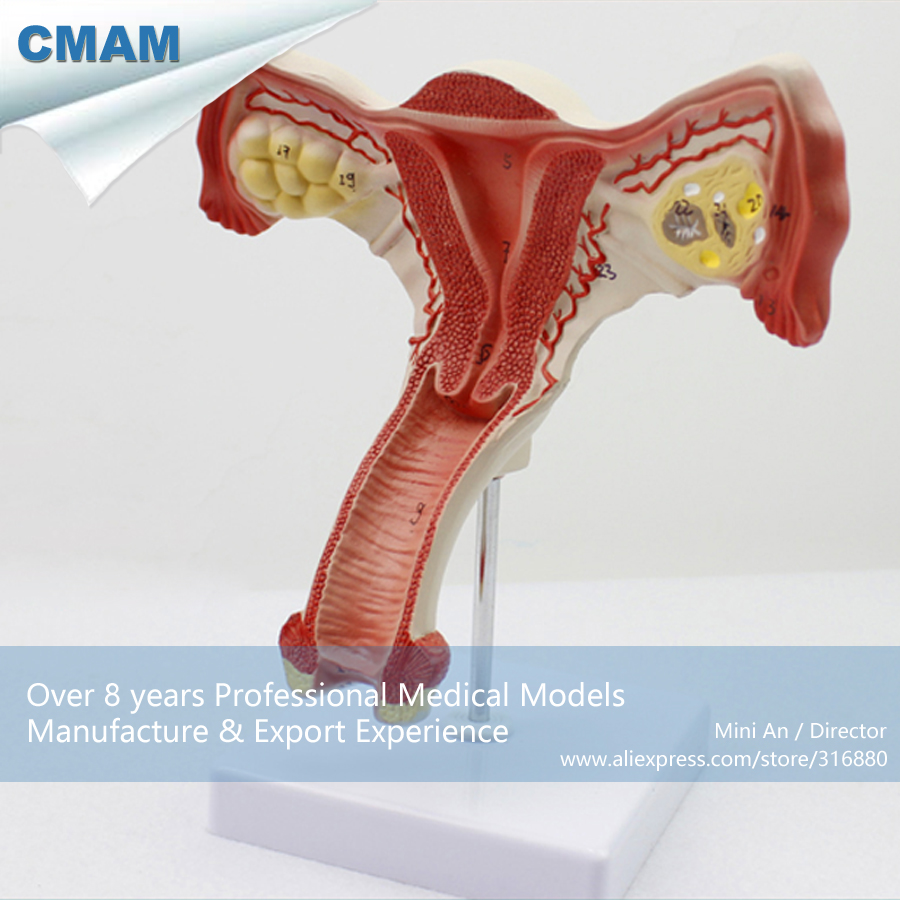 12443 CMAM-ANATOMY05 Female Inner Genital Organ Structure Anatomy Model, Medical Science Educational Teaching Anatomical Models 12400 cmam brain03 human half head cranial and autonomic nerves anatomy medical science educational teaching anatomical models