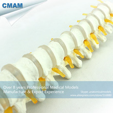CMAM VERTEBRA14 Human Thoracic Vertebrae and Intervertebral Disc Skeleton Model