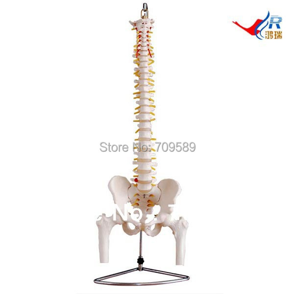 Deluxe Vertebral Column with Pelvis and Femur Heads, Vertebrae Model vertebral column model with pelvis femur heads and sacrum 45cm spine model with intervertebral disc