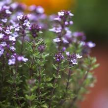 1 Bag 400 NON-GMO Garden Seeds Thyme Thymus Vulgaris -Flower High Germination