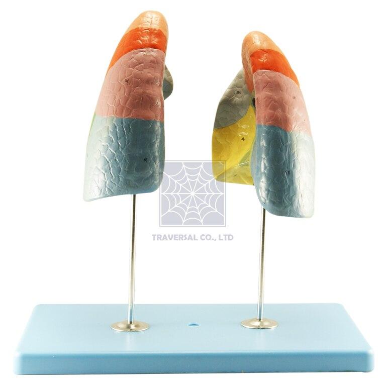 Modell Anatomie Professionelle Medizinische Lunge Segmente Modell w ...