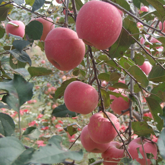 Aliexpresscom Buy Direct Selling Outdoor Plants Quality apple