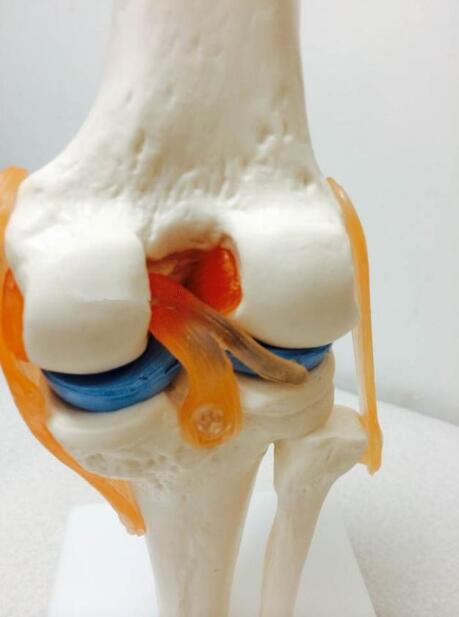 Functional model of human knee bone skeleton model human articular model the accessory ligament is movable how to research