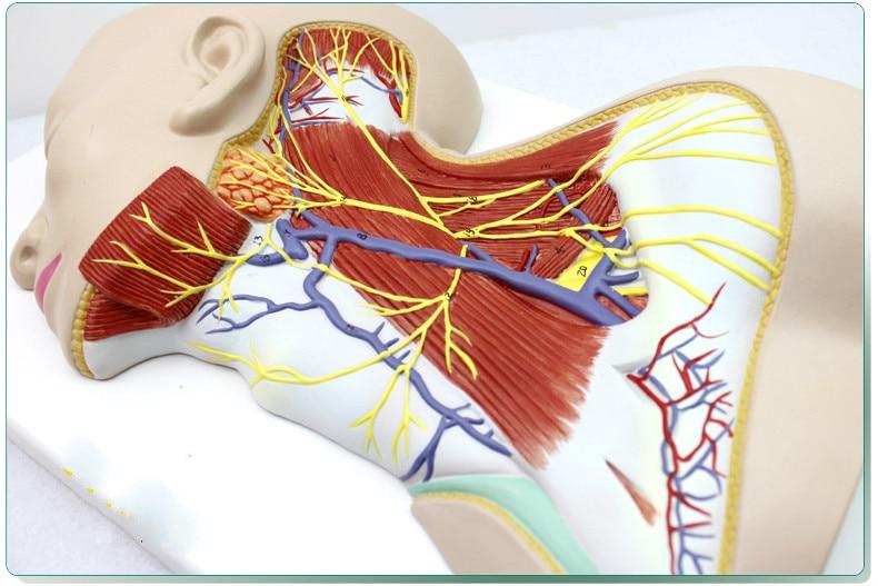Menschlichen Hals Anatomisches Modell, Oberflächliche Nerven, Muscle ...