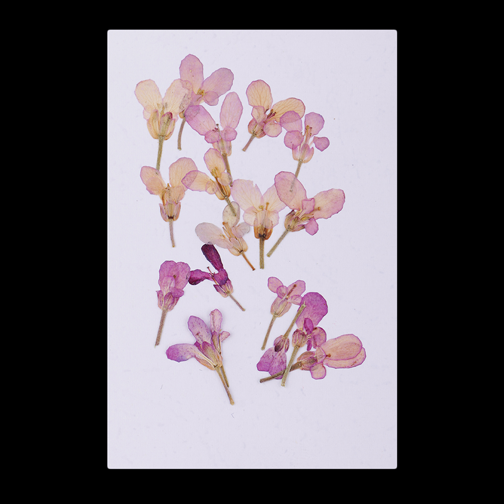 card making craft fuchsia 20pcs for floral art Pressed flowers