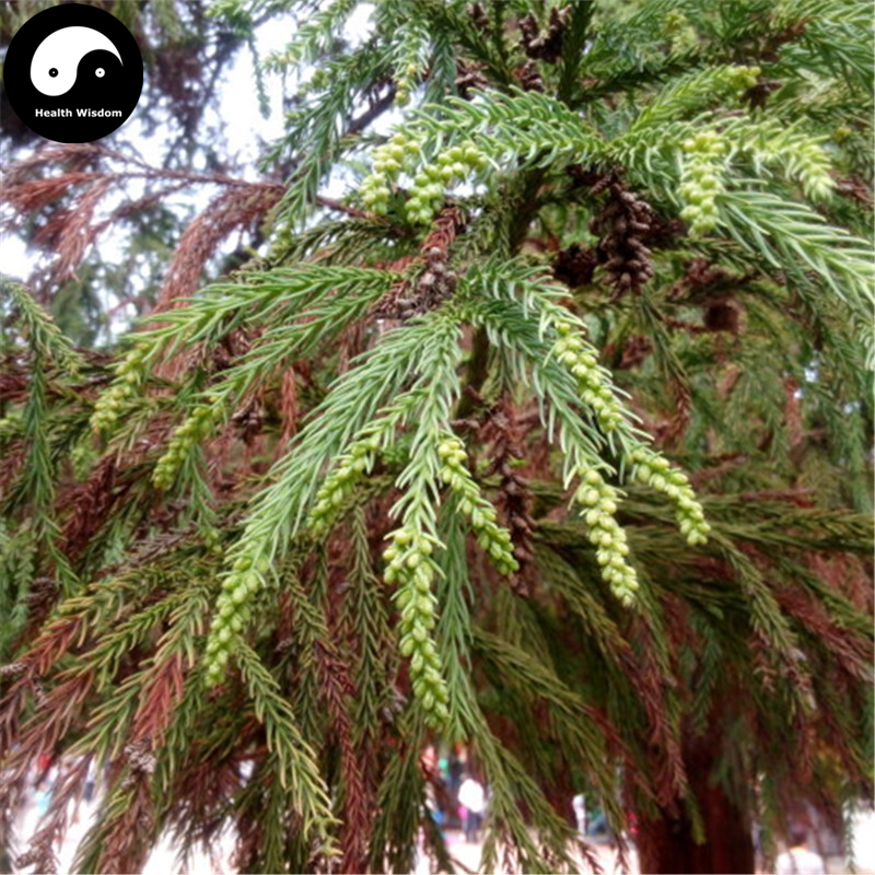 Buy Real Cryptomeria Fortunei Tree Semente 240pcs Plant Cryptomeria Fortunei Arborvitae  ...