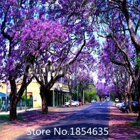 Compra la plantaci n de rboles de jacaranda online al por for Planta ornamental jacaranda
