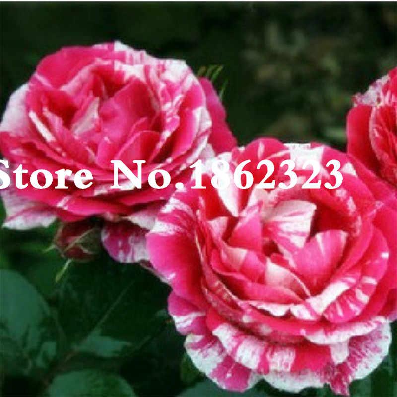 100 Pcs/Tas Rose Tiger Bergaris Mawar Langka Bonsai Tanaman Bunga Pelangi Hijau Biru Kelopak Bunga Mawar Hitam Tanaman untuk Taman Rumah