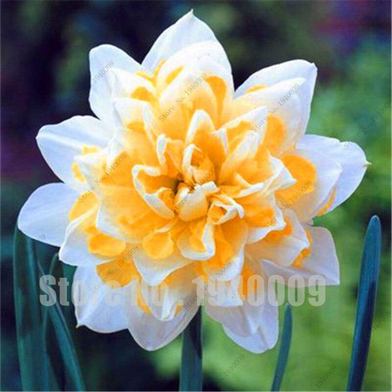 Bulbos De Narcisos Decoracin Del Hogar Prosalocom