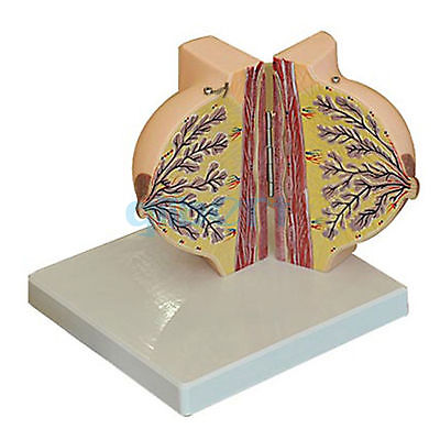 Human Feminine Stationary Phase Breast Model Anatomy Gynecology Teaching human feminine lactation anatomy of the breast model anatomy gynecology teaching