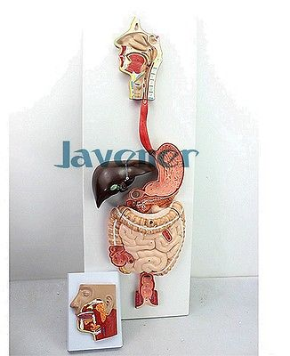 Life size Human Anatomical Anatomy Digestive System Medical Model