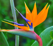New Arrival 2 Seeds Home Garden Plant Strelitzia Reginae Reginaei Bird Of Paradise Spectacular Flower Seeds Free Shipping