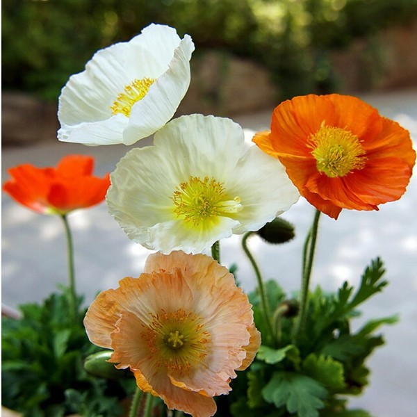 100piece 100 Original Packaging Piece Red Poppy Flower Seeds