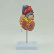 DongYun brand 1:1 human heart anatomical model Medical Science teaching supplies