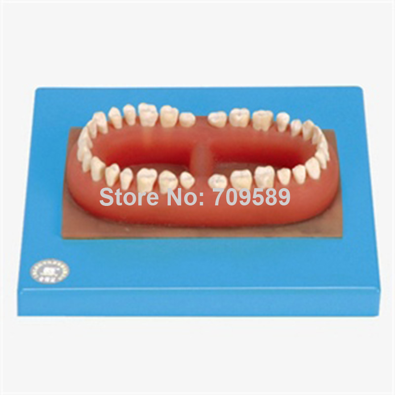 цена ISO Set of teeth , Adult Teeth Model