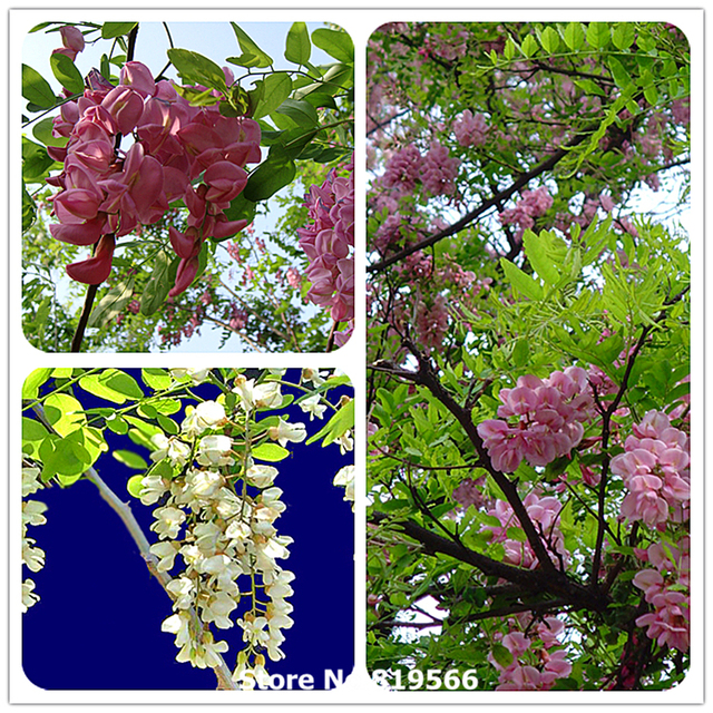 Real Chinese Pink White Robinia Pseudoacacia Tree Seeds Indoor Acacia Bonsai Outdoor Garden Plants Countryard Cihuai Tes