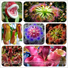 Insect-catching Plant Enchantress Carnivorous Bonsai Seeds, Professional Pack, 100 Seeds / Pack, Indoor Succulent for Desk Pot