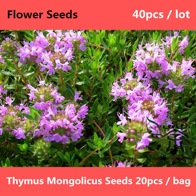 Perennial herbaceous pants thymus mongolicus 40pcs aromatic perennial herbaceous pants thymus mongolicus 40pcs aromatic thymus flower mightylinksfo
