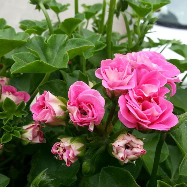 Rare Deep Pink Geranium Seeds, Pelargonium Peltatum Seeds, 20pcs/pack
