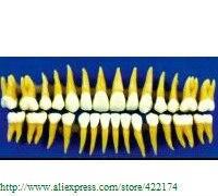 Free Shipping 1:1 permanent teeth dental tooth teeth dentist dentistry anatomical anatomy model odontologia