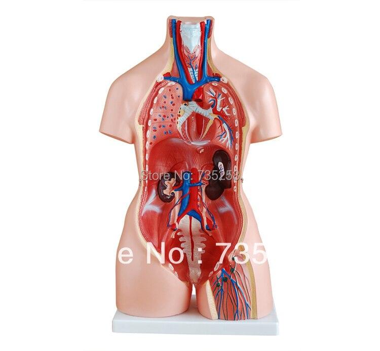 Model 85 cm Body Anatomy ,The Male And Female Genitals ...