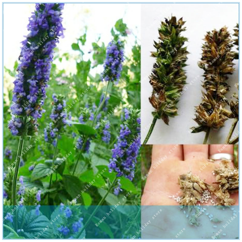 ZLKING Real Rare 200pcs Chia Salvia Hispanica Weight Loss Bonsai Plant DIY Home Garden Free Shipping