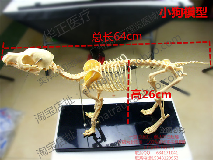Pet Vet small Animal orthopedics instrument PVC hard plastic dog bone specimen model animal cat dog teaching skeleton bone model pet model dog specimen animal anatomy model veterinary teaching aids teaching model dog anatomical model gasencx 0072