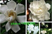 100 pcs / bag, Gardenia seeds,Gardenia jasminoides, potted plants, planting seasons, flowering plants