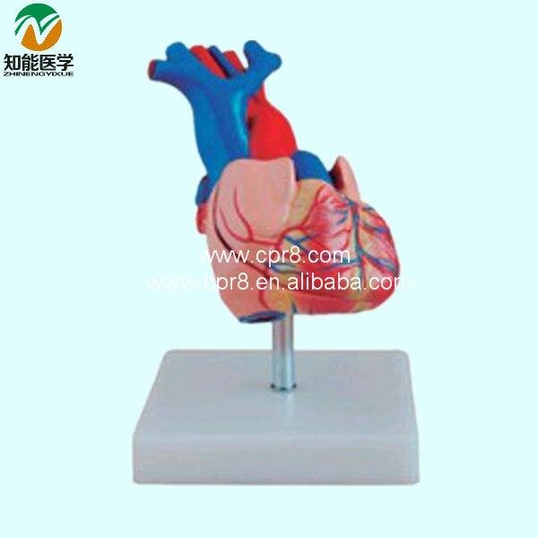 Natural Big Heart Anatomy Model    BIX-A1054 WBW238Natural Big Heart Anatomy Model    BIX-A1054 WBW238