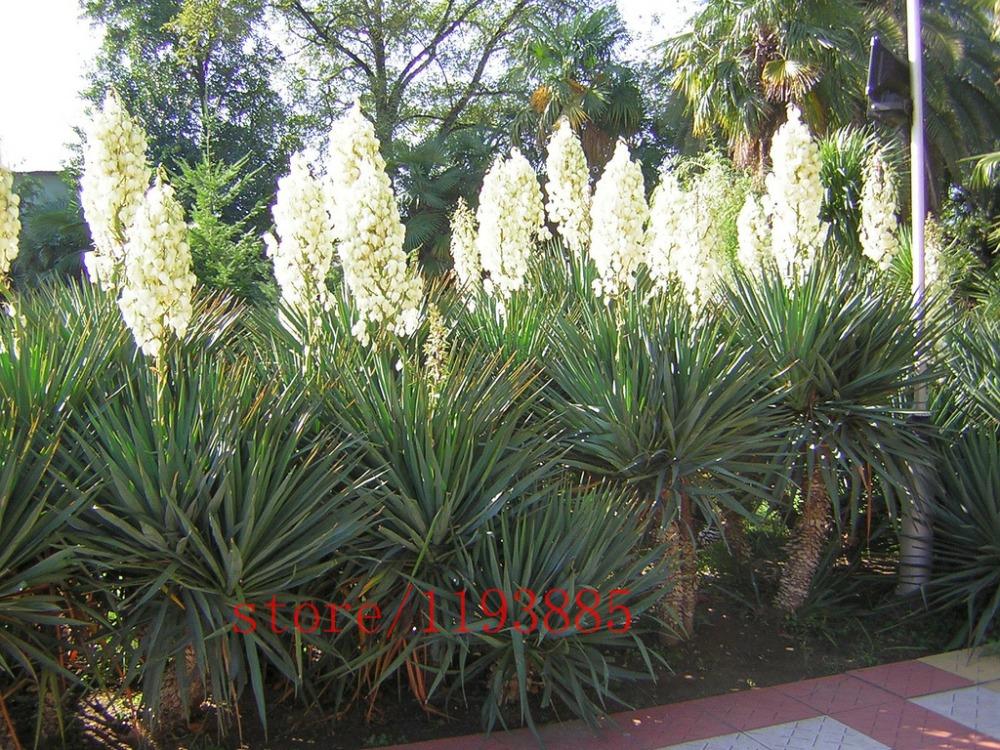 unidsbolsa blanco yucca semillas bonsai semillas de flores plantas de exterior