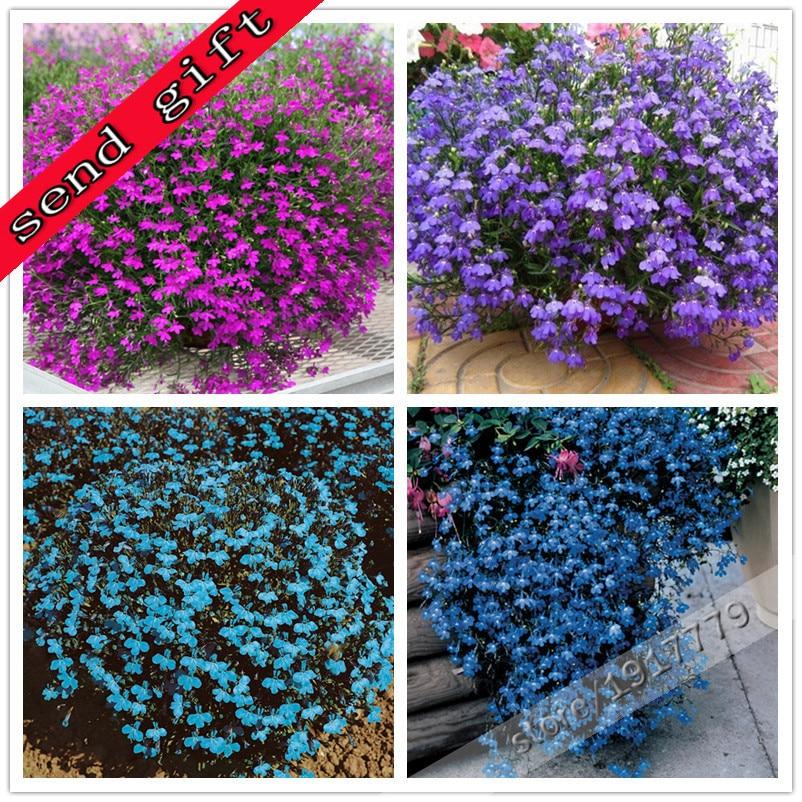 100true Lobelia Seeds Rare Indoor Flower Seeds In Bonsai