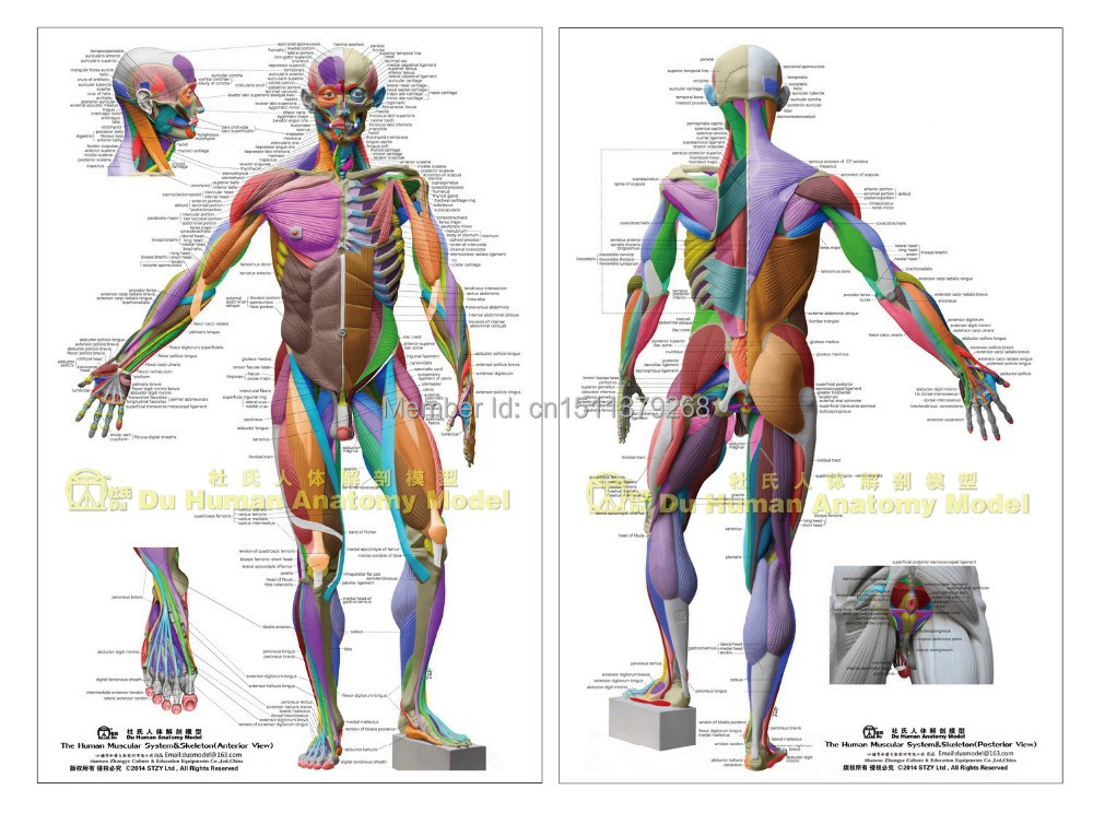 Human Anatomical Chart Muscular Systemanatomy Ecorche Wall Poster
